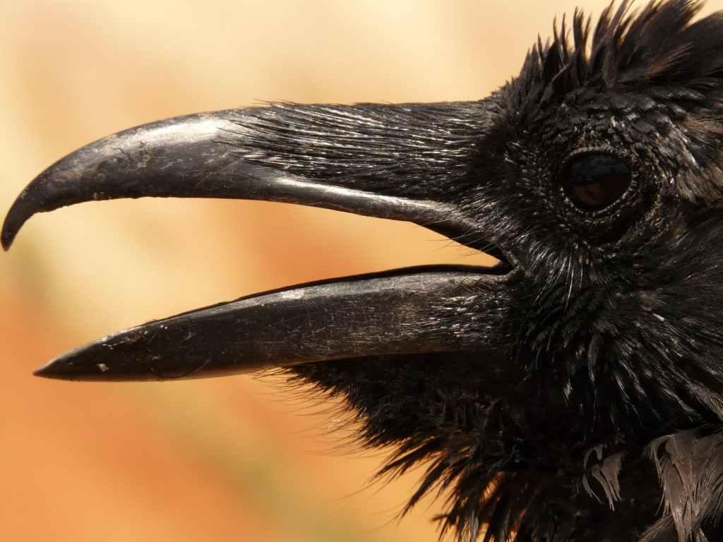 Close up of a raven's beak
